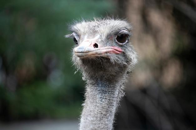Portrait avant de tête et de cou d'oiseau d'autruche dans le plan rapproché de parc