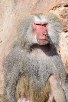 Portrait de babouin