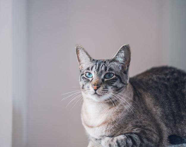 Portrait d'un beau chat mignon domestique aux yeux bleus