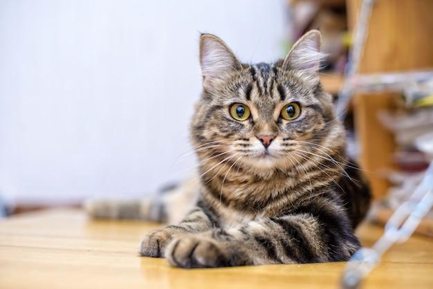 Portrait d'un beau chat rayé gris se bouchent