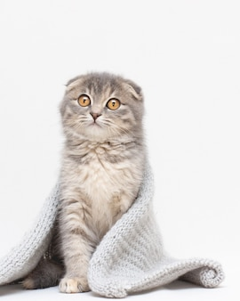 Portrait d'un beau chat scottish fold,