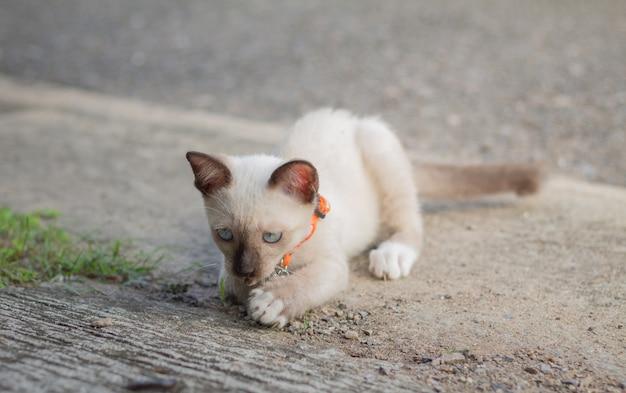 Portrait d'un beau chaton siamois sur le sol