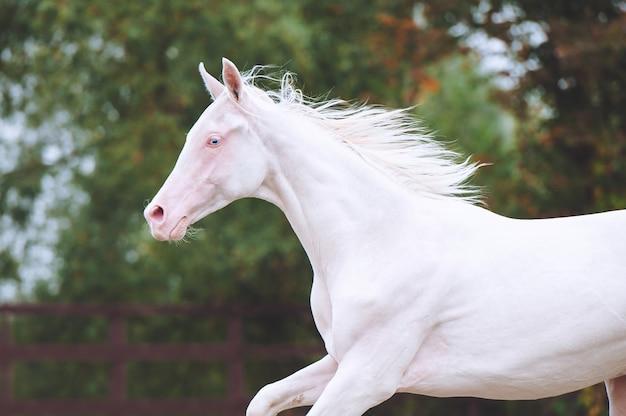 Portrait d'un beau cheval de race akhal-teke sur fond de feuillage vert. étalon isabel aux yeux bleus