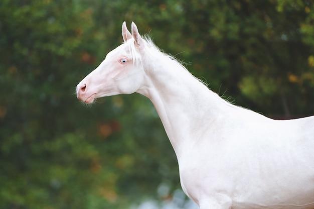 Portrait d'un beau cheval de race akhal-teke sur fond de feuillage vert. isabel stallion aux yeux bleus