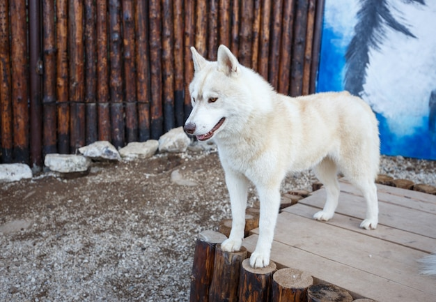 Portrait de beau chien husky sibérien debout sur bois.