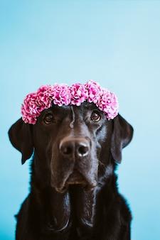 Portrait de beau chien labrador noir portant une couronne de fleurs sur fond bleu