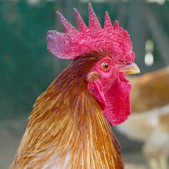 Portrait d'un beau coq avec un peigne rouge