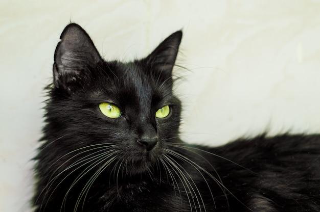 Portrait d'un beau jeune chat noir aux yeux verts