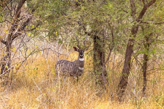 Portrait de beau moindre kudu dans les fourrés de meru kenya afrique