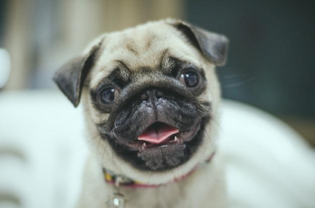 Portrait de beau visage masculin d'émotion de chien carlin heureux