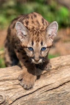 Portrait bébé cougar, lion de montagne ou puma