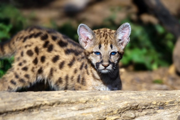 Portrait de bébé cougar