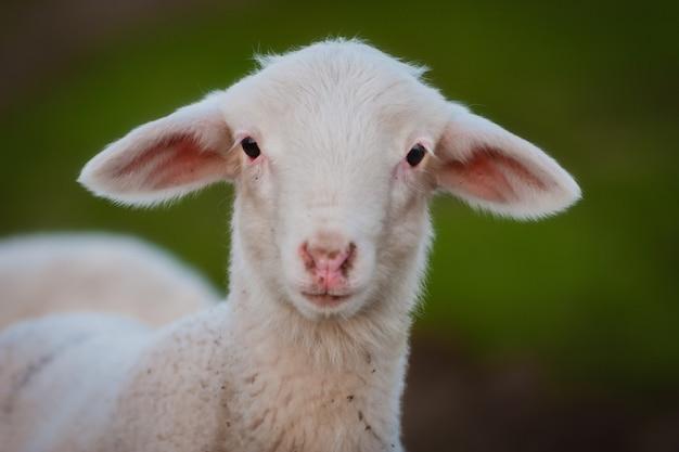 Portrait d'un bel agneau regardant la caméra