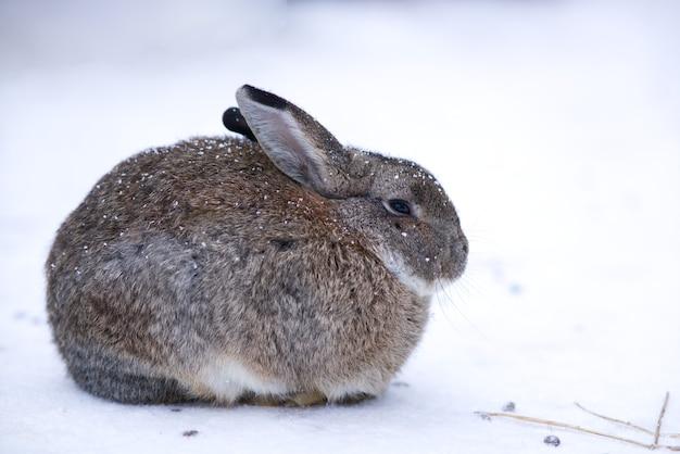 Portrait de bel animal lapin ou lièvre gelant du froid sur une neige lors d'une journée d'hiver enneigée