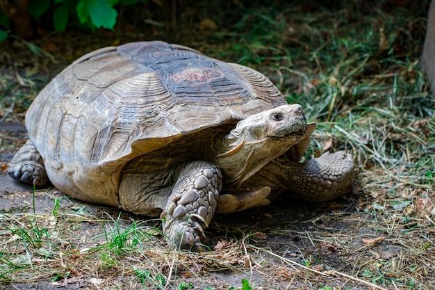 Portrait belle tortue dans l'herbe verte close - up.