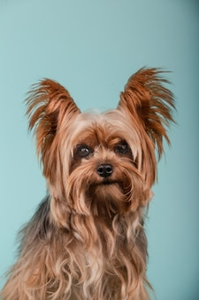 Portrait de la belle yorkshire terrier