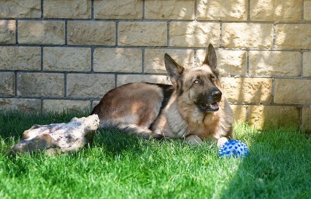 Portrait d'un berger allemand sur l'herbe verte