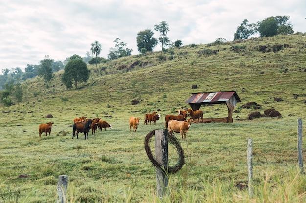 Portrait de bétail d'une ferme locale en argentine.