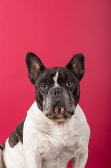 Portrait d'un bouledogue français sur mur de studio rouge