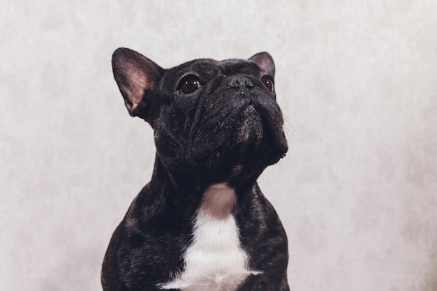 Portrait d'un bouledogue français de race pure en face