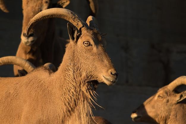 Portrait brun de chèvre de montagne