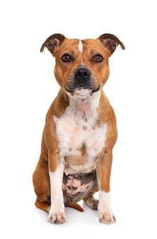 Portrait d'un bull terrier staffordshire