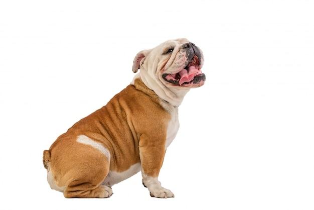 Portrait de bulldog anglais