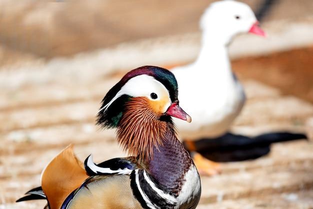 Portrait d'un canard asiatique coloré exotique dans une ferme