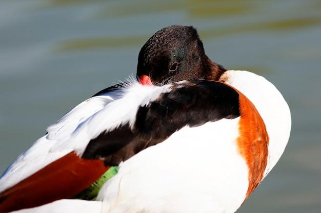 Portrait de canard endormi avec de l'eau derrière