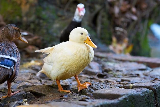 Portrait d'un canard mignon