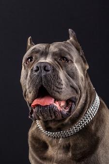 Portrait de cane corso
