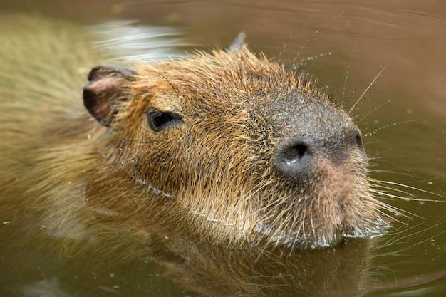 Portrait de capybara
