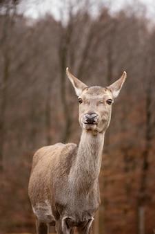 Portrait de cerf sauvage dans la forêt