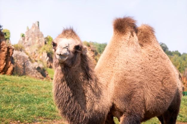 Portrait d'un chameau de bactriane dans un pré vert.