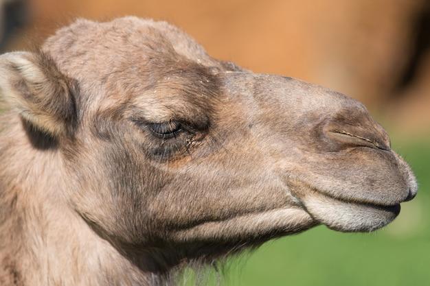 Portrait d'un chameau.