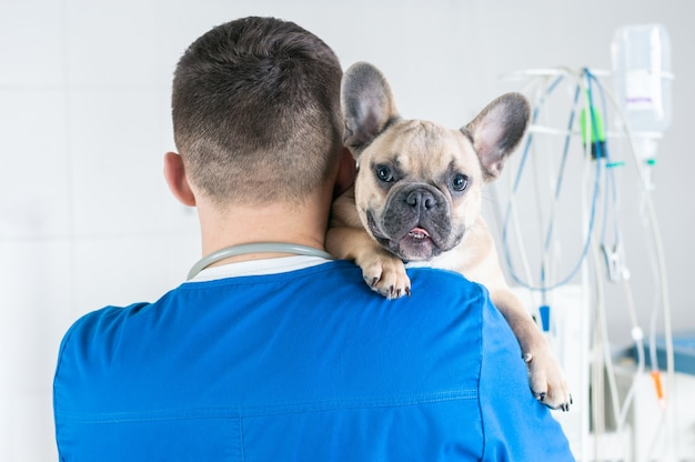 Portrait d'un charmant bouledogue français assis dans les bras d'un médecin. vue de l'arrière. publicité des cliniques vétérinaires