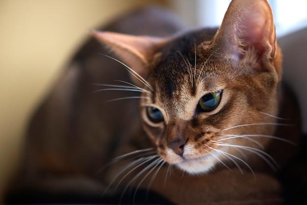 Portrait d'un chat abyssin curieux