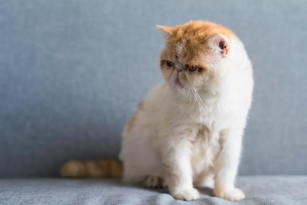 Portrait de chat adorable brun exotique shorthair sur le canapé