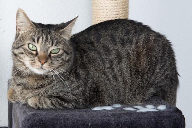 Portrait de chat aux yeux verts isolé sur gris