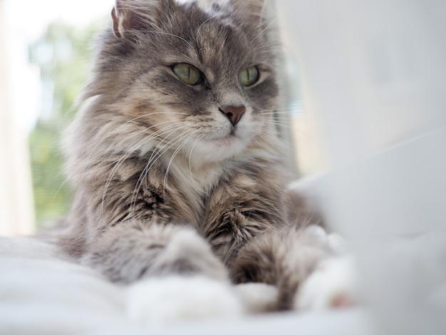 Portrait de chat. beau portrait d'un chat mignon, moelleux et charmant