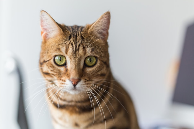 Portrait d'un chat bengal mignon dans une maison sous les lumières avec un arrière-plan flou
