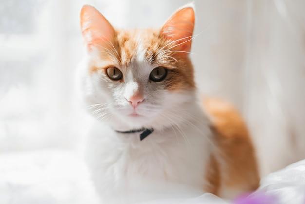 Portrait d'un chat blanc orange à la recherche de gros plan