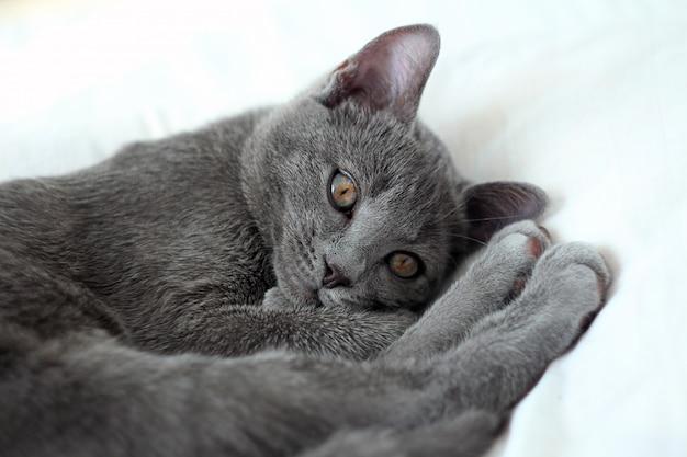 Portrait d'un chat bleu russe endormi. chat gris allongé sur le lit.
