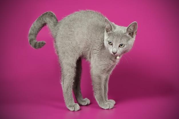 Portrait d'un chat bleu russe sur un mur de couleur