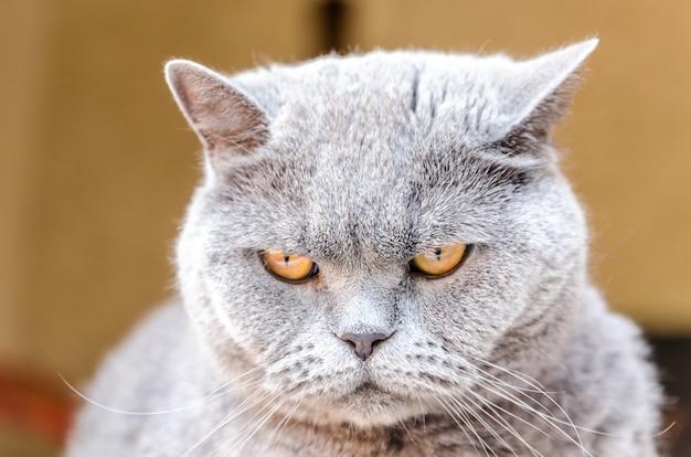Portrait de chat britannique