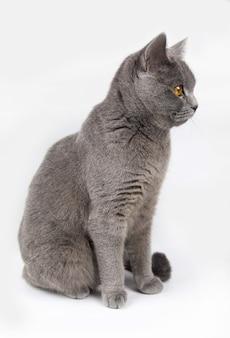 Portrait de chat british shorthair sur fond blanc. chat sur fond blanc.