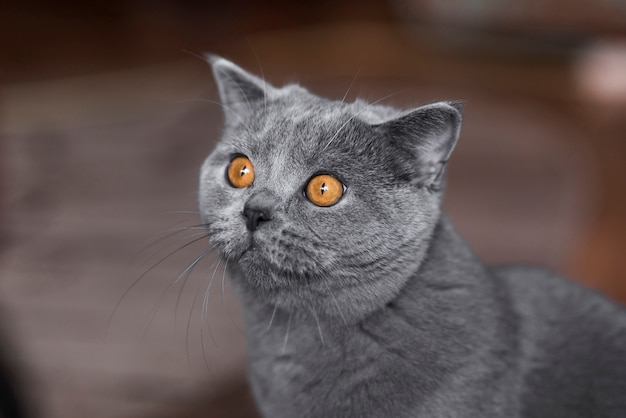 Portrait de chat british shorthair gris