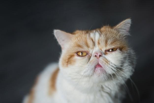 Portrait de chat brun exotique à poil court