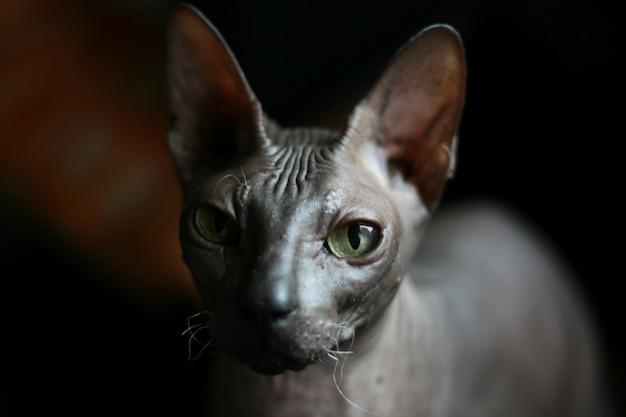 Portrait d'un chat chauve. race de chat don sphynx
