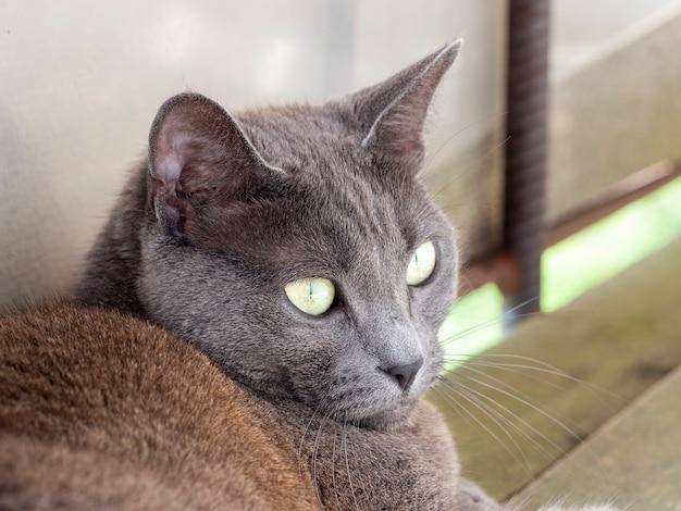 Portrait d'un chat domestique gris aux yeux jaunes d'une race bleue russe.